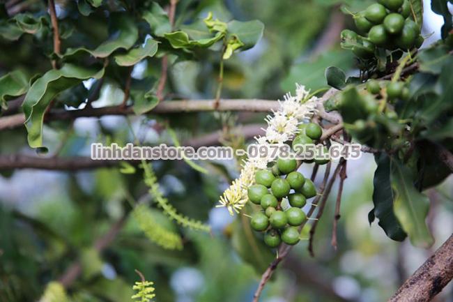 Hạt macca được trồng tại Daklak